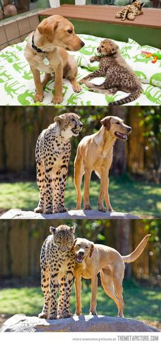 Growin' up together... ♥ Kasi the cheetah was just eight-weeks-old when he was introduced to Mtani, a 16-week-old female labrador. More photos and the story at http://www.dailymail.co.uk/news/article-2133886/Still-wild-The-cheetah-labrador-raised-cub-puppy-remain-best-friends-year-on.html.