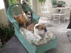 adorable bull dogs,,Winston and Bella