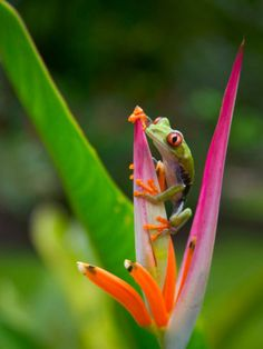 Red-Eye Tree Frog, Costa Rica Photographic Print by Keren Su Jungle Animals Pictures, Cute Animals, Animals Beautiful, Animal Pictures, Color Photography, Animal Photography, Red Eyed Tree Frog, Green Frog, Frog And Toad