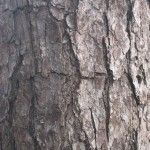 Pine bark. Photos of close ups of different tree types
