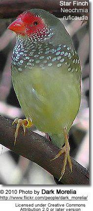 Star Finch (Neochmia ruficauda)  is a species of estrildid finch found in Australia. It inhabits dry grassland and dry savannah habitats. Exotic Birds, Colorful Birds, Green Birds, Love Birds, Beautiful Birds, Birds 2, Beautiful Pictures, Zebra Finch, Habitat Destruction