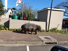 We can never get enough of the unusual pedestrians in St Lucia, Zululand 🦛🤩 Go see for yourself. Click on pic to find St Lucia accommodation Photo via Africa, this is why I live here