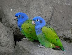 Deforestation and the Amazon's Blue-headed Parrot: