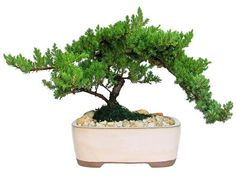 Eves Large Japanese Juniper Bonsai Tree 10 Years Old Planted in 10 Inch Ceramic Container Outdoor Bonsai ** More info could be found at the image url.