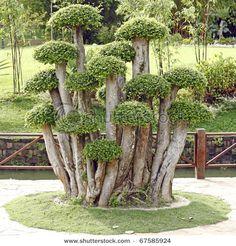 Boxwoods that look like mushrooms