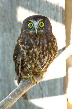 photo by Pj Renshaw, NZ Owl Patterns, Bird Tree, Flora And Fauna, Masculine Cards, Art Forms, Painted Rocks, Owls, New Zealand, Art Ideas