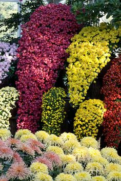 Spectacular fall-flowering chrysanthemums have been featured regularly at the New York Botanical Garden. Chrysanthemum Flower Pictures, Japanese Chrysanthemum, Unusual Flowers, Beautiful Flowers, Cascade Design, Starting A Garden, Colorful Garden, Spring Garden, Picture Design