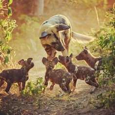 Adorable photo of a wild dog playing with her pups   Safari   Africa