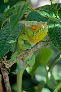 Parson's Chamäleon ~ Madagascar