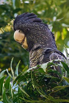 Red-Tailed Black Cockatoo,