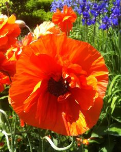 and look what I found blowing in the wind  Oriental Poppies