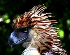 Philippine Eagle  (Davao City, Philippines)