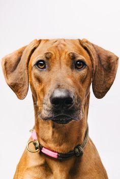 Rhodesian Ridgeback, Animals Black And White, Smiling Dogs, Dog Signs, Dog Portraits, Dog Photos, Animal Photography, Dog Love, Animal Pictures
