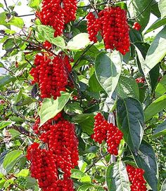 Vitafit-Beere® - Schisandra chinensis Eternal youth berry tree. Grows to 20 ft