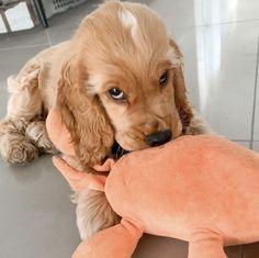 Perro Cocker Spaniel, English Cocker Spaniel Puppies, American Cocker Spaniel, Cute Dogs And Puppies, Baby Dogs, I Love Dogs, Doggies, Cockerspaniel, Funny Animal Pictures
