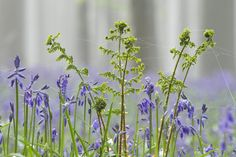 Hallerbos 2012 - Hyacinthoides non-scripta - Common Bluebell - Boshyacint - Wilde hyacint
