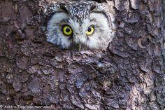 Tengmalm's Owl by Antero Topp Photography Tours, Wildlife Photography, Reptiles, Mammals, Bird Watching, Finland, Owls, Safari, Birds