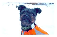 Tractive pet tracker and Hurtta safety vest. Mops will not get lost.