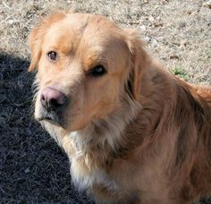 This is Ziggy - 3 yrs. He is neutered, current on vaccinations, potty & crate trained & good with dogs. Ziggy is at Golden Retriever Rescue Alliance, TX http://www.petfinder.com/petdetail/28410100/