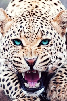 Snow Leopard Nature, Animals, Wildlife: The Beauty at one place Nature Animals, Animals And Pets, Cute Animals, Baby Animals, Wild Life Animals, Animals Planet, Pretty Animals, Beautiful Cats, Animals Beautiful