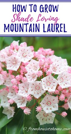 These tips on Mountain Laurel care are awesome! It's an evergreen bush with really pretty flowers that grows well in the shade. Learn all about how to grow Kalmia latifolia #fromhousetohome #MountainLaurel #shadegarden #plants #gardeningtips