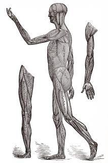 Human Musculature System, Circa 1911 Free Stock Photo
