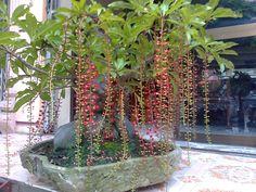Cây lộc vừng - loài cây của sự may mắn - http://caycanhnoithat.vn/blog/cay-loc-vung-loai-cay-cua-su-man/