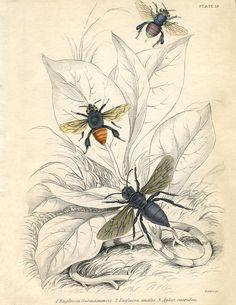 + 4000 free vintage images at http://thegraphicsfairy.com/vintage-printable-bees/ et possibilité de s'abonner =//= Vintage Printable Bees
