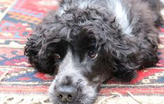 I can honestly say that dog hair is probably my biggest nemesis, it gets everywhere and despite investing in a well known brand of pet vacuum cleaner, Maya's hair can always be spotted on the…