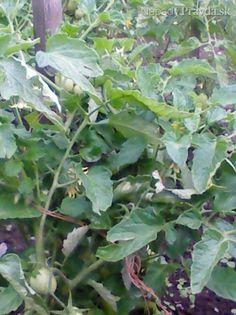 Predchádzanie plesne na paradajkách