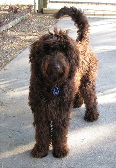 """""""Designer dogs"""" are increasingly in vogue. It's not uncommon to see a labradoodle or a goldendoodle–big dogs who look like animated Muppets–galloping down the street. Chocolate Goldendoodle, Goldendoodle Haircuts, Black Labradoodle, Goldendoodles, Labradoodles, Best Dog Breeds, Best Dogs, Designer Dogs Breeds, Nature"""