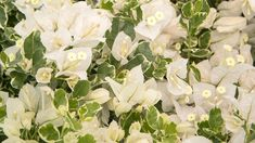 'White Stripe' A stunning summer annual, this pearl bougainvillea offers an elegant look for every arbor. Exotic Flowers, White Flowers, Bougainvillea Colors, Stunning Summer, Garden Inspiration, Garden Ideas, House Front, Yard Landscaping, Lush