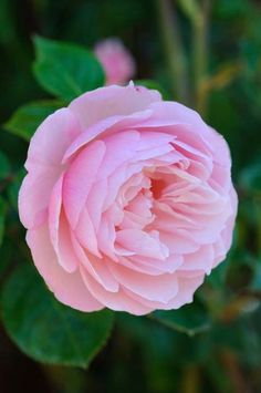 One of David Austin's Top 10 Most Fragrant English Roses: 'The Generous Gardener. - One of David Austin's Top 10 Most Fragrant English Roses: 'The Generous Gardener' is known fo - All Flowers, Large Flowers, My Flower, Pretty Flowers, Rose Foto, Ronsard Rose, Fragrant Roses, Belle Plante, Old Rose