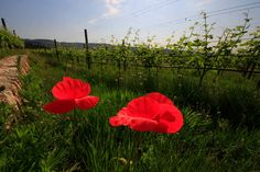 Beautiful red poppies bloom next to #wine #vines in the Vineyards of Allegrini Estates, in Valpolicella, Italy.