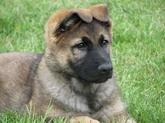 Breeding German shepherd dogs is a great passion and I make every effort to ensure our dogs are healthy, happy, and well- adjusted to any situation. German Shepherd Breeders, British Columbia, Canada, Angel, Animals, Image, Animales, Animaux, Animal