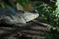 Coccodrillo di Cuba (Crocodylus rhombifer) La popolazione di questo rettile è  ridotta a poco più di 4.000 esemplari distribuiti in due piccole aree dell'isola. Gli studiosi ritengono che buona parte di questi animali sia però composta di ibridi: incroci con il più comune coccodrillo americano (Crocodylus acutus). Il coccodrillo di cuba viene fortemente cacciato per le sue carni.