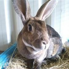 Ruby is a very friendly girl looking for a new home with a neutered male rabbit for company. Ruby will hop up to say hello and loves to roll and throw her flower pots about!