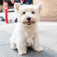 The Dogist — Bomber, West Highland White Terrier (10 y/o), 82nd...