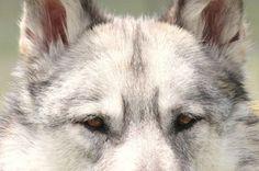 White Wolf #ViewBug