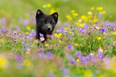 An Arctic fox sits in a meadow of wild flowers in Iceland's Hornstandir Nature Reserve on July 20, 2008.