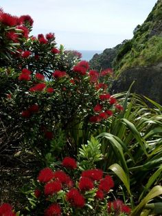 Pohutukawa in the bush. New Zealand. By Margaret Tooley Pohutukawa in the bush. New Zealand. By Marg Beach Theme Garden, Summer Christmas, Xmas, New Zealand Houses, New Zealand Landscape, Kiwiana, The Beautiful Country, Exotic Flowers, Beach Themes