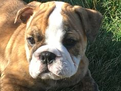 Meet Evette - a Miniature English Bulldog puppy in Paynesville, Minnesota for sale. Find cute English Bulldog puppies, dogs, and breeders at VIP Puppies. Miniature English Bulldog, English Bulldog Breeders, English Bulldog For Sale, Blue French Bulldog Puppies, Black Pug Puppies, Cheap Puppies, Cockapoo Puppies For Sale, Puppies Near Me, Bulldog Puppies For Sale