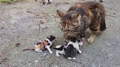 Baby kittens meowing very loudly for mom cat – Pets, Dogs, Cats Caring Tips and Pictures Kitten Meowing, Kitten Gif, Cat Gif, Baby Kittens For Sale, Buy A Kitten, Mother Cat, Mama Cat, Sphynx, Kittens Cutest