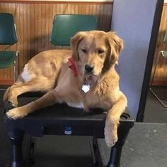 Maggie Mae has been adopted! This is Maggie Mae - 1 yr. She is spayed, current on vaccinations, potty and crate trained, knows basic commands, has good house manners, walks well on a harness, good with dogs and cats. Not kid tested. Needs a physical fence. GRRACE, IN.