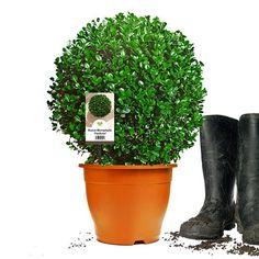 Buchsbaum Kugel 'Faulkner' | Ø30-35cm | Im Topf gewachsen | ±6 Jahre alt