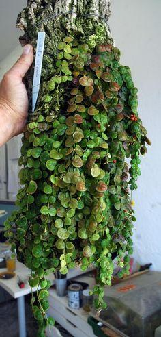 Hooked on Hoya cubit: General Chat forum: Other interesting Asclepiads and other plants Hoya Plants, Terrarium Plants, Rare Plants, Exotic Plants, Tropical Plants, Carnivorous Plants, Cactus, Plant Fungus, Hummingbird Garden