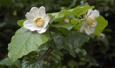 Sinocalycanthus chinensis  Deciduous shrub, 3m x 4m, hardy  Burncoose