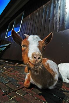 Man Jailed Again For Having Sex With A Goat. Raises Questions About Bestiality.