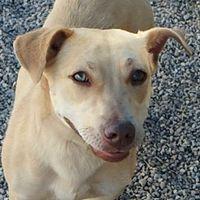Tucson Arizona Corgi German Shepherd Dog Mix Meet Julep A For
