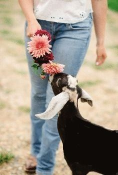 Flowers For The Goat